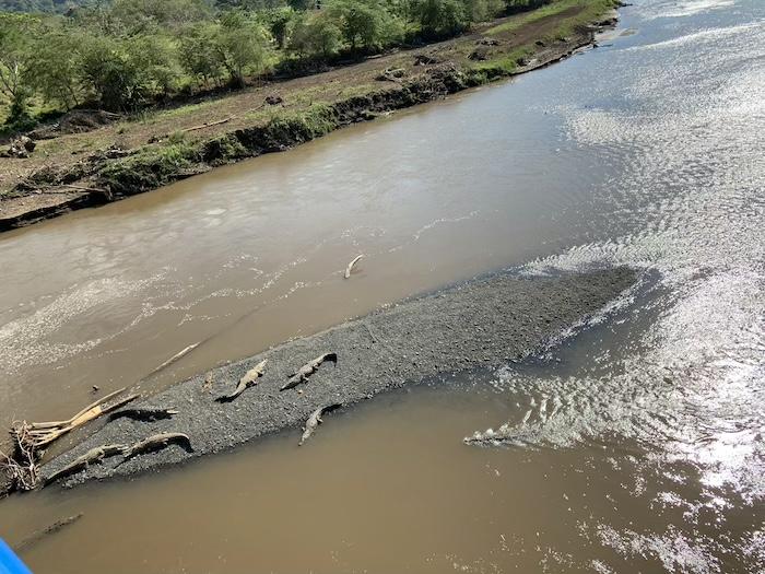 Crocodile-Costa-Rica